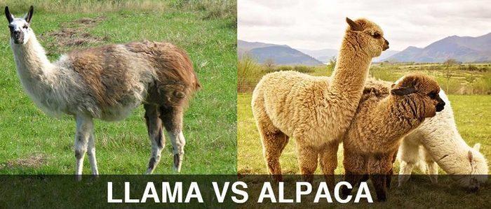 Чем отличается альпака от ламы