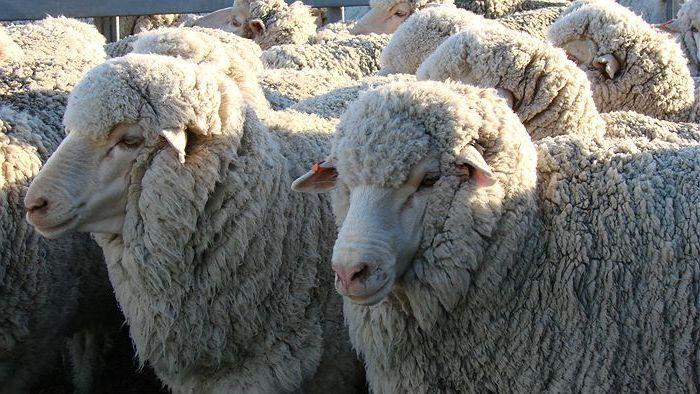 Шерсть овец мериносов