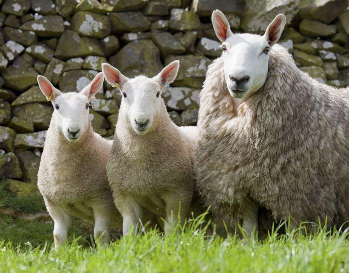 Овцы шевиот