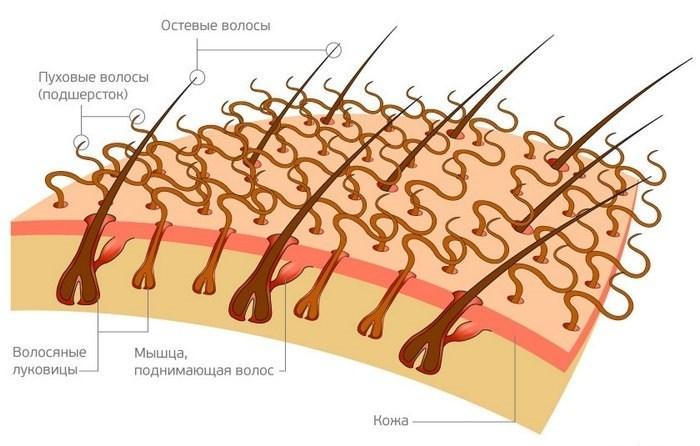 Схематическое изображение структуры волос и шерстяного покрова