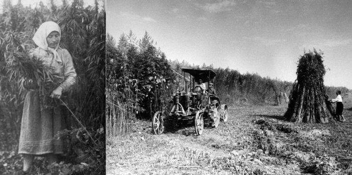 Уборка конопли в СССР